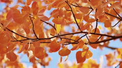 Golden Aspen Tree Leaves and Branches Arkistovideo