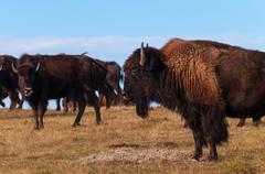 Badlands Bison Profile Stock Photos