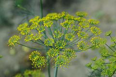 Inflorescence dill on green background. Stock Photos