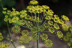 Inflorescence dill on green background. - stock photo