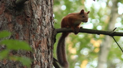 Squirrel in a pine forest. Stock Footage