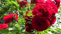 Nice fresh red rose bloom in garden. 4K Stock Footage