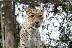 Stock Photo of head shot of Persian leopard