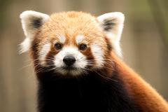 Red panda (Ailurus fulgens) - stock photo