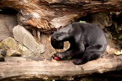 Stock Photo of Sun bear also known as a Malaysian bear