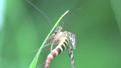 Insect Scorpionfly sitting on a green leaf, in the forest, meadow, 4k Stock Footage