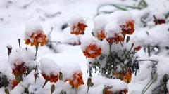 Orange flowers with snow Stock Footage