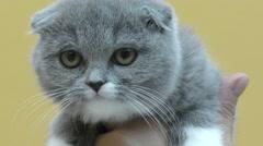 British lop-eared kitten Stock Footage