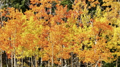 Sunshine on Autumn Aspen Trees - stock footage