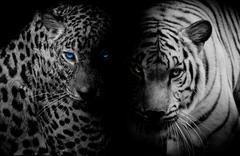 Black & White Leopard with blue eyes & Tiger isolate black background Kuvituskuvat
