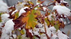 Charming nature scene with maple leaves closeup in heavy snow fall. Stock Footage