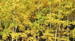 Light Breeze in Autumn Aspen Trees Stock Footage