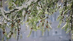 Closeup of Larch (Larix) branch against building in snowfall. Stock Footage