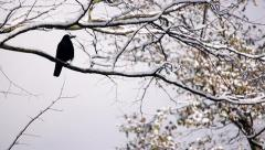 Rook is sitting on snow covered tree branch, eating the snow and cleaning itself Stock Footage