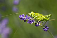 Green grasshopper at levander in the garden Stock Photos