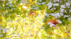 Glittering nature scene with maple leaves and sparkles in first snowfall Stock Footage