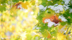 Closeup of maple leaves and sparkles after heavy snowfall. - stock footage