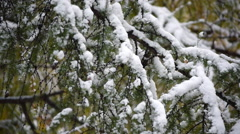 Great nature scene with close up of Larch (Larix) branch in snow fall Stock Footage
