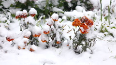 Orange flowers with snow 2 Stock Footage