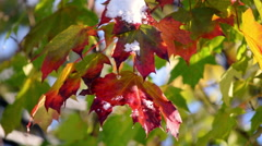Colorful maple leaves closeup after first snow fall in sunny day. Stock Footage