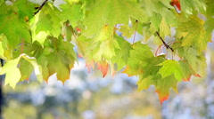 Splendid nature view with close up of maple leaves and melted snow Stock Footage