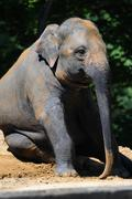 An Indian Elephant is sitting on the ground - stock photo