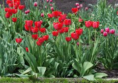 Red tulips on the flowerbed - stock photo