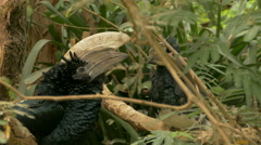 Silvery-cheeked hornbill and Trumpeter hornbill. Stock Footage