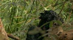 Silvery-cheeked hornbill (Bycanistes brevis), african large bird. Stock Footage
