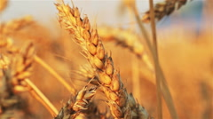 Golden ear of wheat swinging in the wind Stock Footage