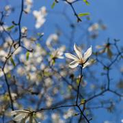 Twig blossoming magnolia on a sunny spring day. Kuvituskuvat