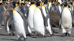 KIng penguins and seal Stock Footage
