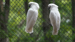 Stock Video Footage of White cockatoo in cage.