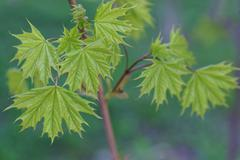 Young leaves of maple in sunny day. Stock Photos