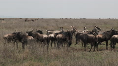 Herd of Zebra and Wildebeest standing together on the plains Stock Footage