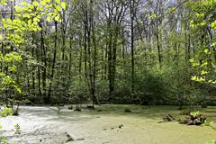 Green trees in the swamp on a sunny day. - stock photo