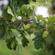 Oak branch with acorns on a sunny day. Stock Photos