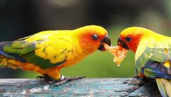 Cute Sun Conure parrot bird eating papaya fruit food, HD Clip Stock Footage