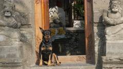 Dog guarding balinese house,Ubud,Bali,Indonesia Stock Footage