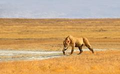Female Lion Hunting in Grasslands of Ngorongoro Kuvituskuvat