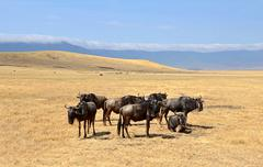 Group of Wildebeest standing on Safari in Ngorongoro crater Stock Photos