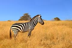 Zebra standing in Grass on Safari watching curiously - stock photo