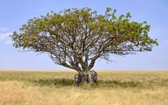 Family of Elephants hiding in a shade of Acacia Tree Stock Photos