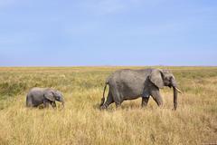 Baby Elephant with Mother Walking on Safari - stock photo