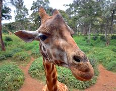 Curious Giraffe's head closeup with nature background - stock photo