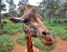 Curious Giraffe's head closeup with nature background Stock Photos