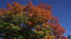 Trees starting to change colors in breeze Stock Footage
