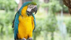 Cute yellow and blue macaw parrot bird resting on a branch, HD Clip. Stock Footage
