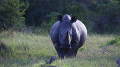 Portrait of one rhino standing in grass Stock Footage