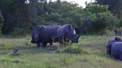 Three rhinos in the bush Stock Footage